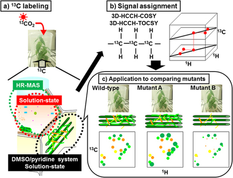Multidimensional High-Resolution Magic Angle Spinning and Solution-State NMR Characterization of 13C-labeled Plant Metabolites and Lignocellulose | Biologie Intégrative | Scoop.it