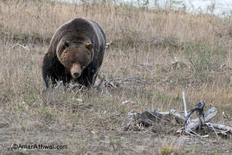 Large male grizzly out and about in Banff National Park | Calgary Herald | Exploring the Rocky Mountians | Scoop.it