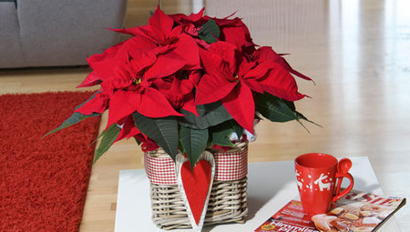 While the rest of us are tending tomatoes, poinsettia growers kick into high gear | Mother Nature Network | Agriculture,Urban Farming,Food security,Agriprenuership, Youth, Ag Journalism and  Online Ag media | Scoop.it