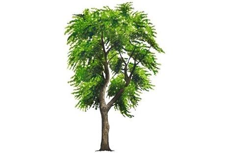 Vecinos verdes | Capulín  (Prunus serotina esp.capuli) | Scoop.it