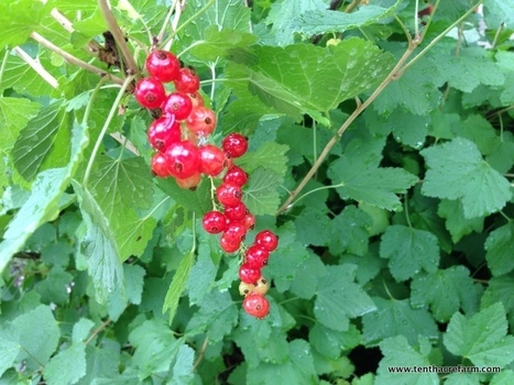 Currant Bushes in the Edible Landscape: Red or Black? | edible landscaping | Scoop.it