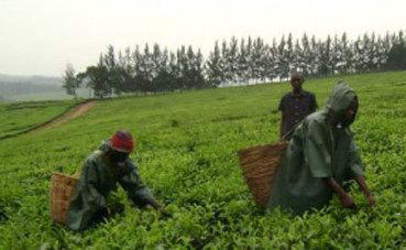 EAC tea exports rise | Market information | Scoop.it