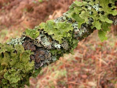 Molecular Plant Pathology: Are lichens potential natural reservoirs for plant pathogens? (2016) | Effectors and Plant Immunity | Scoop.it