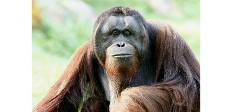 Plus de la moitié des primates dans le monde au bord de l'extinction | Mes passions natures | Scoop.it