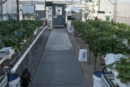 UA researchers growing desert strawberries   Arizona Daily Wildcat   CALS in the News   Scoop.it