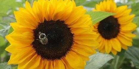 Le pesticide Cruiser interdit en France pour protéger les abeilles   Des 4 coins du monde   Scoop.it