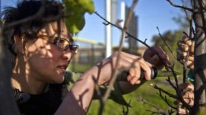 Guerrilla Grafters: Splicing Fruit-Bearing Branches Onto City Trees | leapmind | Scoop.it