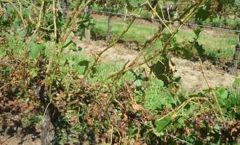Viticulture: La chambre d'agriculture de Gironde satisfaite des mesures annoncées pour les exploitations sinistrées | Agriculture en Gironde | Scoop.it