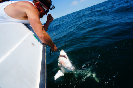 Fisherman hooks baby great white shark off Rockaway Beach | PIX 11 | Marine Conservation and Ecology | Scoop.it