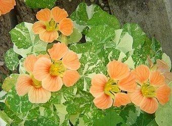 Companion Planting With Herbs | Veggie Gardener | Annie Haven | Haven Brand | Scoop.it