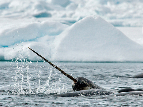 How an ex-Mountie's 10-year, $700,000 narwhal-tusk smuggling scheme came crashing down | All about water, the oceans, environmental issues | Scoop.it