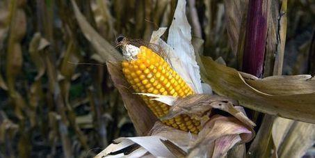 Mexique : le maïs OGM à nouveau autorisé, les cuisiniers protestent | RSE, professionnels et entreprises responsables : actus et solutions | Scoop.it