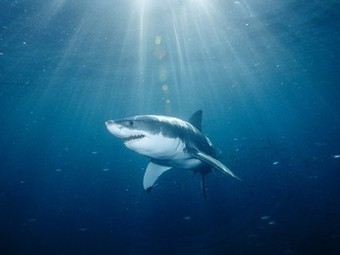 Great White Sharks - Shark Pictures - Great White Facts - National Geographic   Sharks in the world   Scoop.it