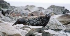 Eye on the Arctic - Finland's Saimaa seal population recovers slowly | Finland | Scoop.it
