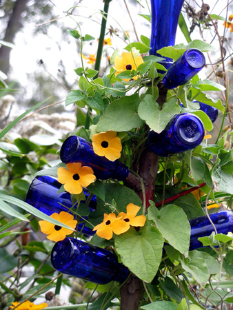 Black-eyed Susan Vine (Thunbergia alata) can be... | Wallace Gardens | Annie Haven | Haven Brand | Scoop.it