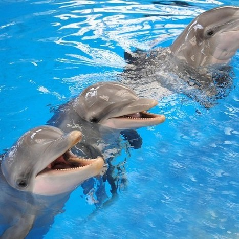 Study: Dolphins can remember each other after 20 years of separation (Wired UK) | environmental enrichment | Scoop.it