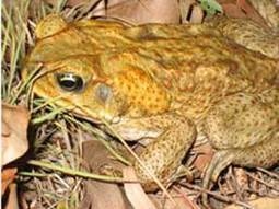 Cane Toad Facts   Cane Toads in Australia   Scoop.it