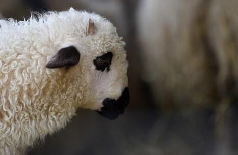 Maltraitance animale : Deux nouveaux abattoirs dénoncés par la L214 | Nature Animals humankind | Scoop.it