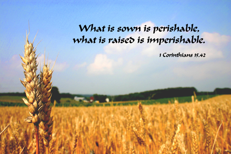 1 Corinthians 15.42 Poster - What is sown is perishable, what is raised is imperishable | Resources for Catholic Faith Education | Scoop.it