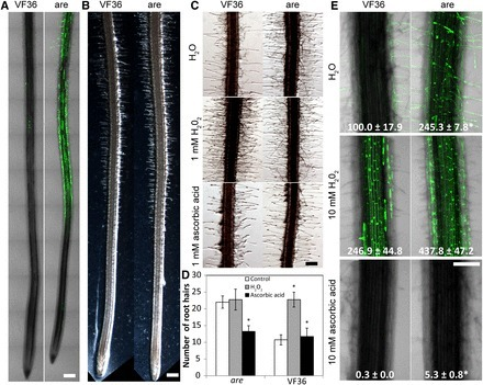 The anthocyanin reduced Tomato Mutant Demonstrates the Role of Flavonols in Tomato Lateral Root and Root Hair Development | Rhizosphere interactions | Scoop.it