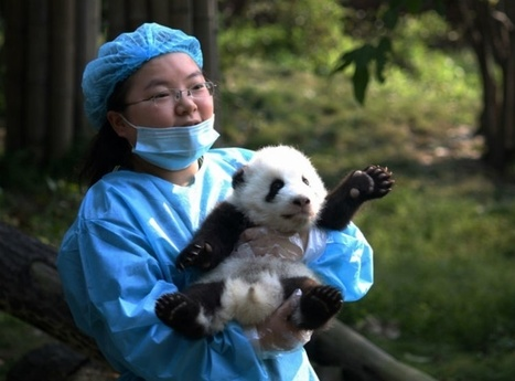 There was a 'panda kindergarten' event in China. It didn't disappoint. | animals and prosocial capacities | Scoop.it