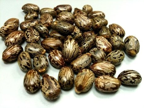 Buy premium quality castor oil from Avi Naturals starts only from $2.75 | 100% Pure and Orgnic Carriers Oils | Scoop.it