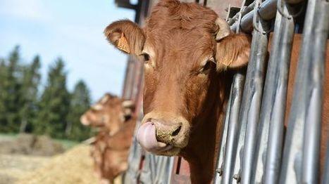 Record absolu de prix pour une vache limousine à 23.500 euros   Boucher Information Communication Boucherie Nationale et Internationale   Scoop.it