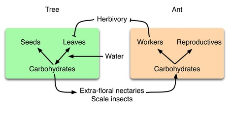 Water Stress Strengthens Mutualism Among Ants, Trees, and Scale Insects | Biotic interactions | Scoop.it
