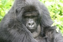Gorilla watching in Rwanda   Africa Travel Guide and Directory   Africa Travel Guide   Scoop.it