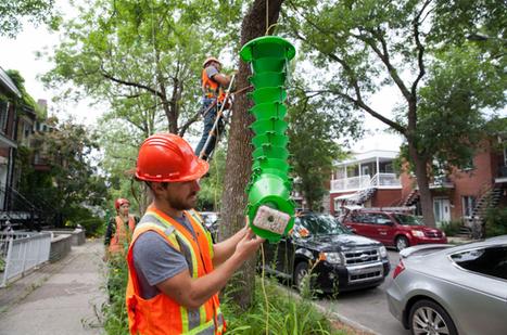 Un champignon pour contrôler la population de l'agrile du frêne à Montréal | EntomoNews | Scoop.it