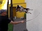 Dog performs outrageous stunts - video - Digital Spy | In Today's News of the Weird | Scoop.it