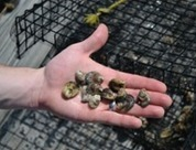 Shellfish Aquaculture Research Team Awarded $673,000 NERRS Grant | Aquaculture Directory | Aquaculture Directory | Scoop.it