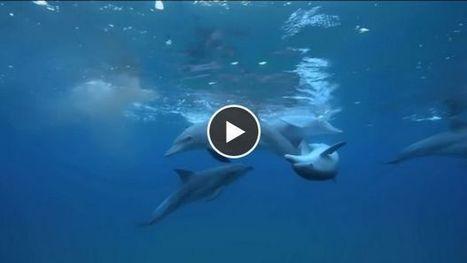 Des dauphins filmés en train de se droguer avec... un poisson-globe | 16s3d: Bestioles, opinions & pétitions | Scoop.it
