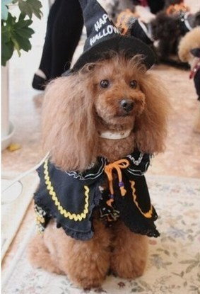 Poodle in Witch Halloween Costume - The Dog Home | Halloween Crafts, Decorations, Costumes And Treats | Scoop.it