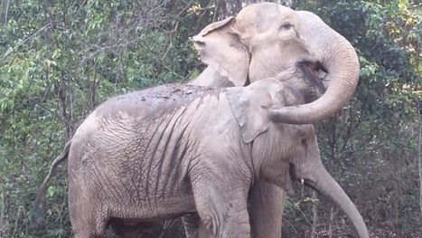 Elephant mother reunited with her daughter after 3 years in emotional video | animals and prosocial capacities | Scoop.it