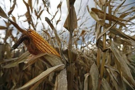 France bolsters ban on genetically modified crops | Food issues | Scoop.it