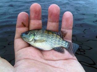 Mejoran genéticamente a peces para mejorar las ventas. | Noticias del 3º Trimestre | Scoop.it