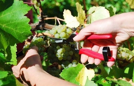 Grape genes mapped to track down best Chardonnay | Vitabella Wine Daily Gossip | Scoop.it