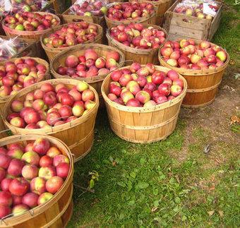 Les pommes d'Ile-de-France | Ca se passe au jardin | Le fruit de l'actualité | Scoop.it