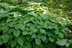 Epimedium - Arousing Your Health - Greenchedy | Herbs And Herbal Remedies | Scoop.it