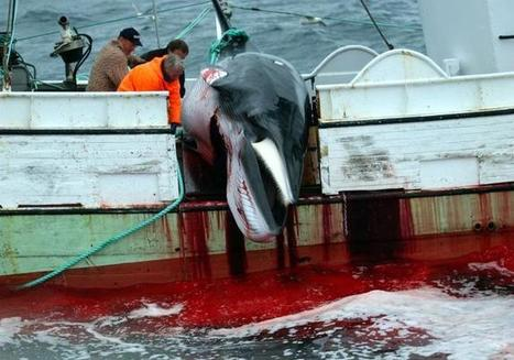 Icelanders Don't Like Whale Meat – So Why the Hunts?   Oceans and Wildlife   Scoop.it