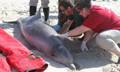 Measles-like virus linked to dolphin deaths along US east coast | GMOs & FOOD, WATER & SOIL MATTERS | Scoop.it