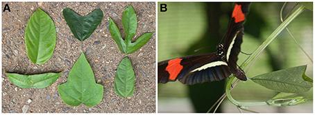 Le papillon fait la feuille / Butterflies use differences in leaf shape to distinguish between plants | EntomoNews | Scoop.it