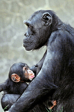 Baby Chimpanzee Fatally Attacked At L.A. Zoo | READ WHAT I READ | Scoop.it