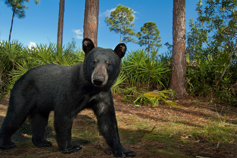 Black bears show us how to save wild Florida | Conservation | Scoop.it