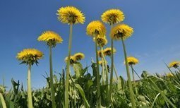 Let dandelions have their day in the sun | Erba Volant - Applied Plant Science | Scoop.it