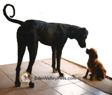 Big Dog Meets Little Dog. Our family had a female Great Dane cross | Pets | Scoop.it