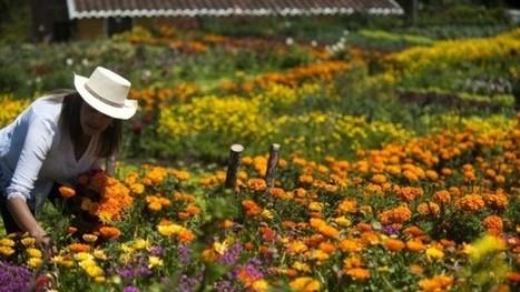 Comienza exportación de 500 millones de flores para San Valentín y otros mercados - RCN Radio | Emprendimiento y competitividad territorial | Scoop.it