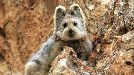 Découvrez l'Ili pika, un mammifère craquant très rare et menacé d'extinction | Biodiversité | Scoop.it