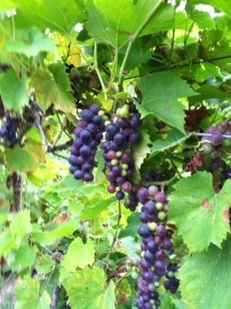 Grapes begin to ripen on CJS Vineyards - Auburn Citizen | 'Winebanter' | Scoop.it